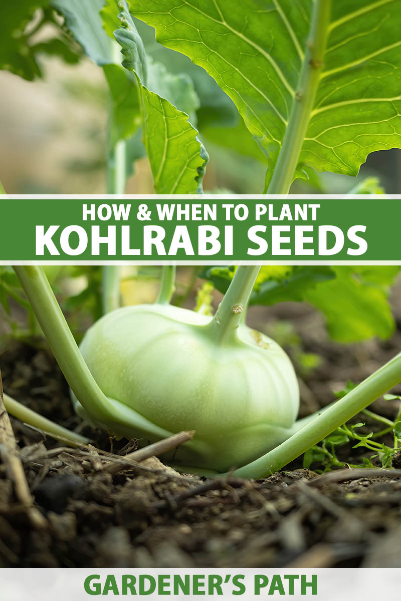 A close up vertical image of a kohlrabi plant growing in the garden pictured on a soft focus background. To the center and bottom of the frame is green and white printed text.