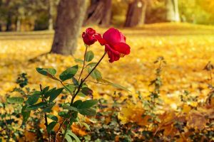 How to Plant Roses During the Fall