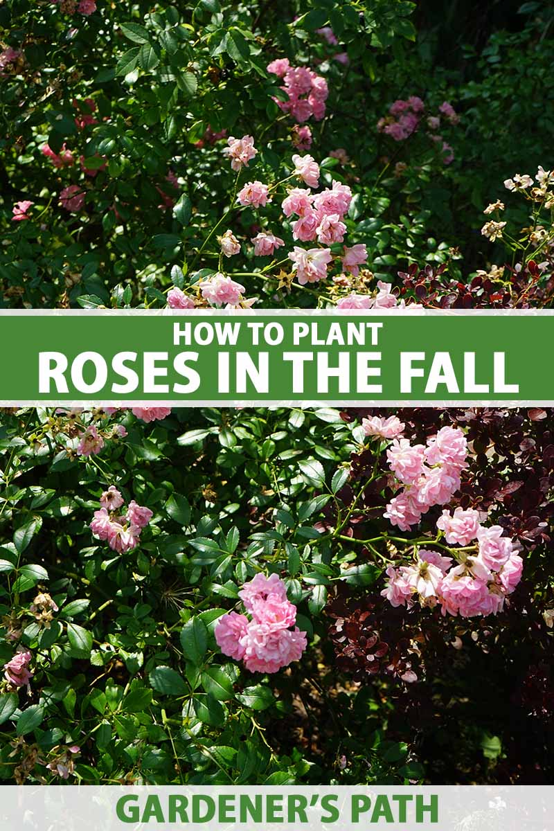 A vertical image of a rose shrub with pink flowers growing in the garden pictured in light sunshine. To the center and bottom of the frame is green and white printed text.