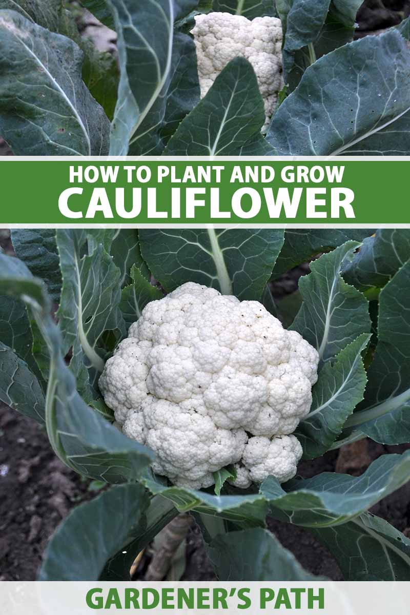 A close up vertical image of cauliflower plants growing in the garden with white heads surrounded by deep green leaves. To the top and bottom of the frame is green and white printed text.