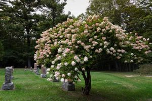 How to Shape Your Hydrangea into a Tree