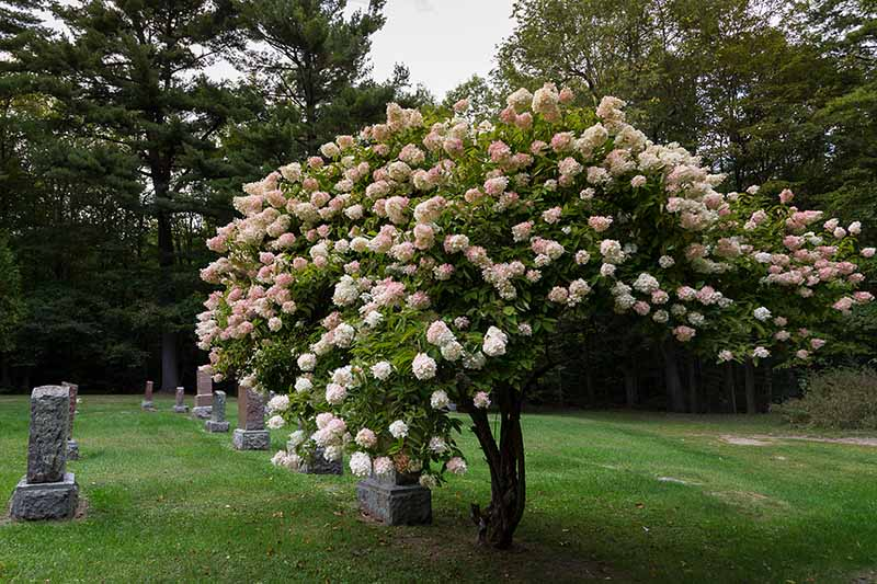 A horizontal image of a hydrangea that has been shaped into a tree form.