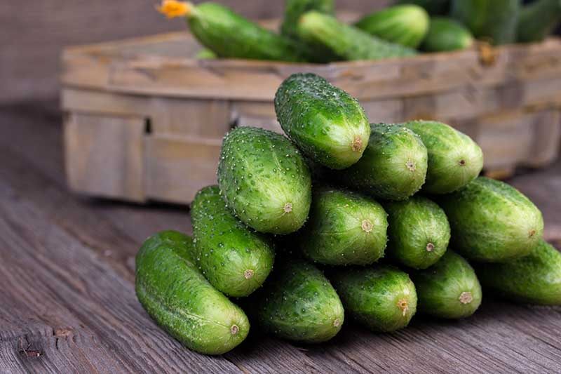 A close up horizontal image of a pile of freshly harvested homegrown cucumbers set on a wooden surface with a wicker basket in the background.