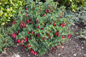 How and When to Transplant Hardy Fuchsia