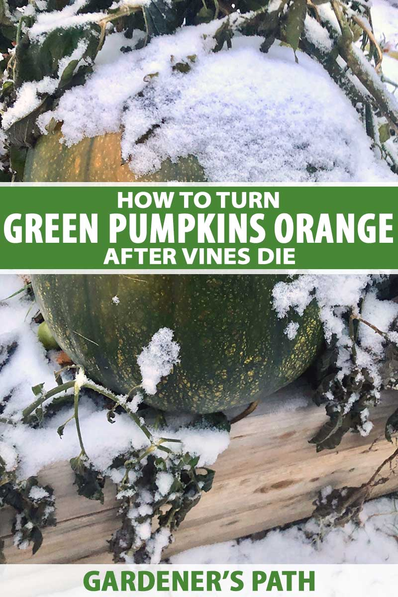 A close up vertical image of a large green pumpkin with a light covering of snow on the surface. To the center and bottom of the frame is green and white printed text.