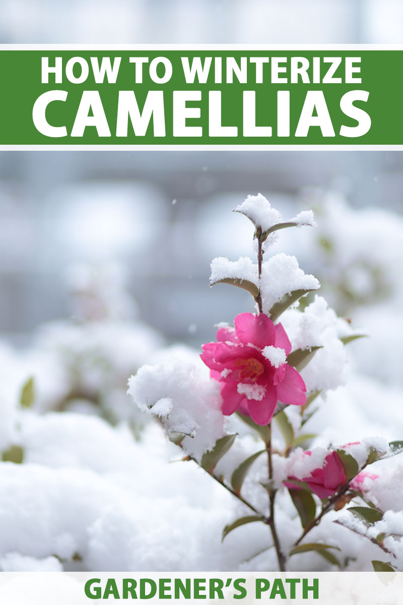A close up vertical image of a pink camellia flower growing in the winter garden covered with a dusting of snow, pictured on a soft focus background. To the top and bottom of the frame is green and white printed text.