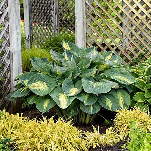 A close up square image of a large 'Hudson Bay' hosta plant growing in the garden with a trellis in the background.