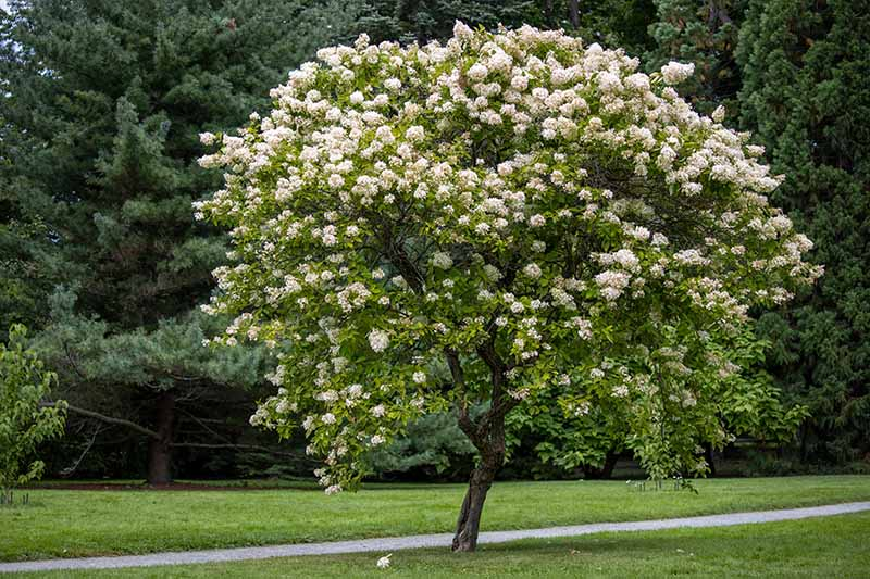 A close up horizontal image of a large hydrangea growing in a tree form in a large botanical garden.