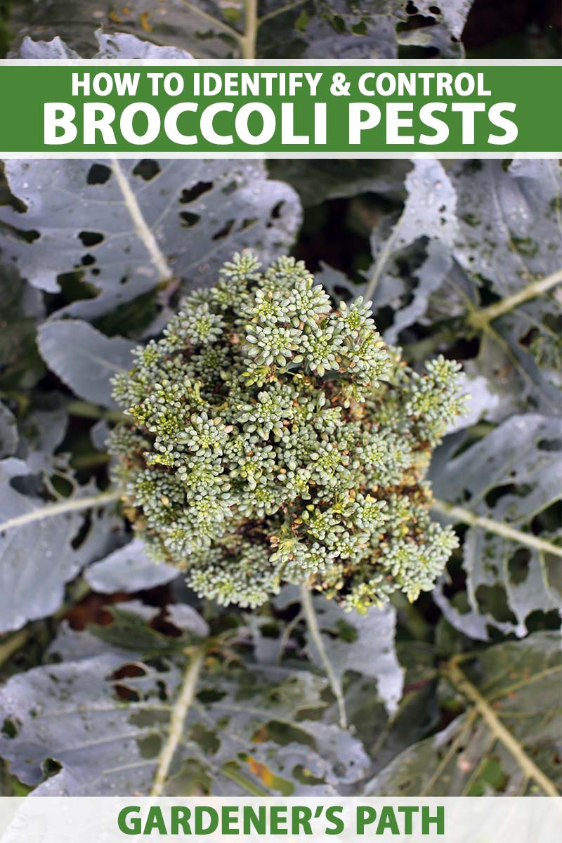 A close up vertical image of a broccoli plant showing damage by pests. To the top and bottom of the frame is green and white printed text.