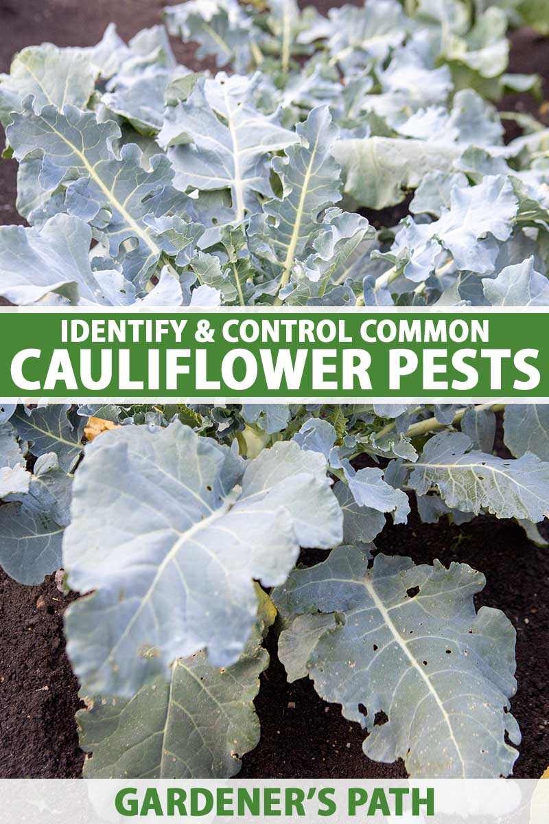 A close up vertical image of cauliflower plants growing in the garden. To the center and bottom of the frame is green and white printed text.