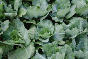 How to Recognize and Manage 9 Common Cauliflower Pests