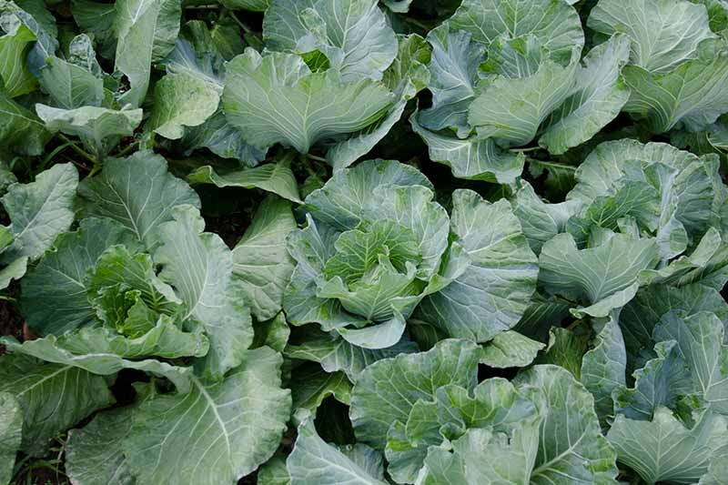 A close up horizontal image of rows of cauliflowers growing in the garden.