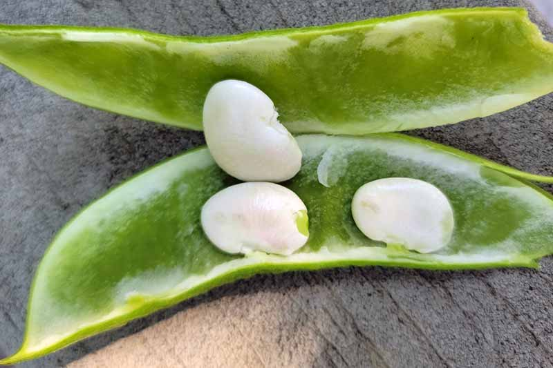 A close up horizontal image of a 'King of the Garden' pod split open to reveal the beans inside, set on a gray surface.