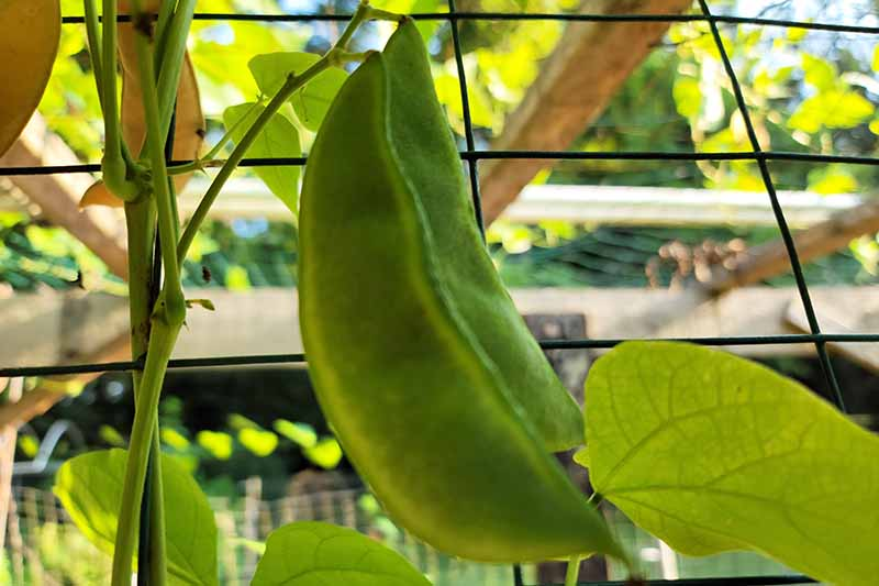 A close up horizontal image of 'King of the Garden' pods growing on a fence support in the garden.