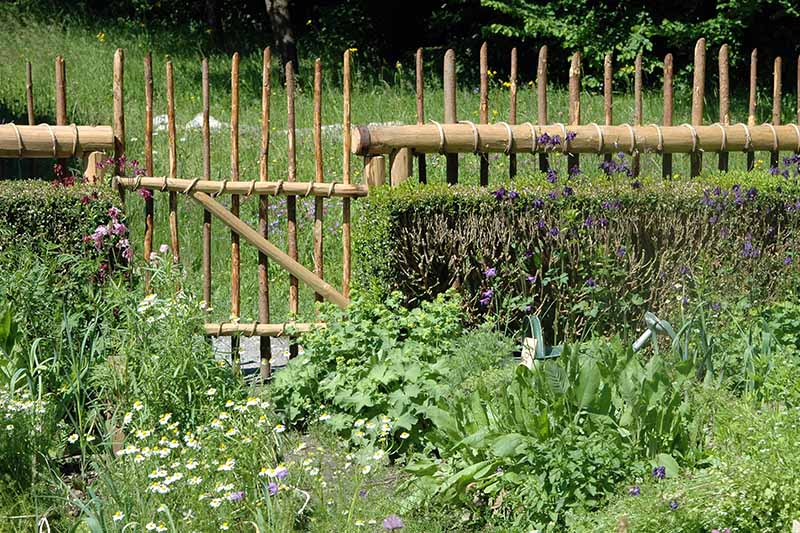 A horizontal image of a backyard kitchen garden with a variety of different herbs and vegetables and a wooden fence in the background.