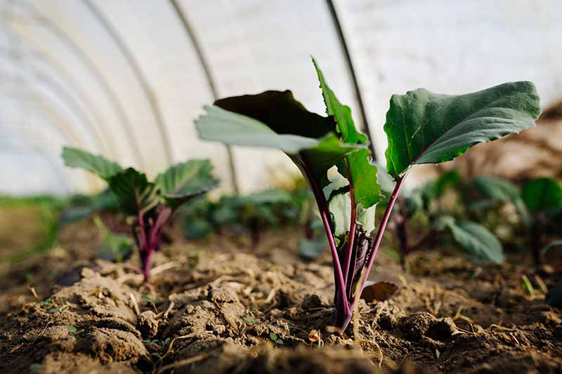 A close up horizontal image of small kohlrabi seedlings growing in a tunnel house.