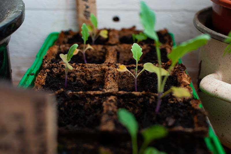 A close up horizontal image of seedlings growing in biodegradable pots indoors.