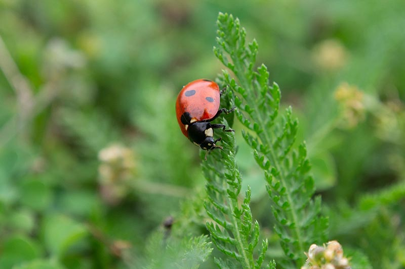 A close up horizontal image of a ladybug on a yarrow leaf pictured on a soft focus background.
