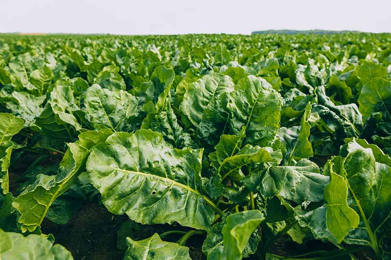 A horizontal image of a large field of sugar beets grown as fodder.