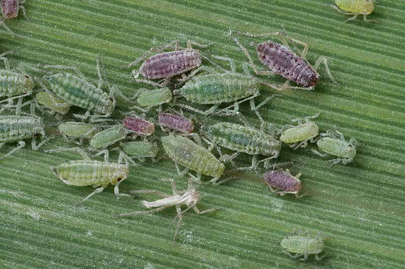 A close up horizontal image of mealy plum aphids infesting a leaf.