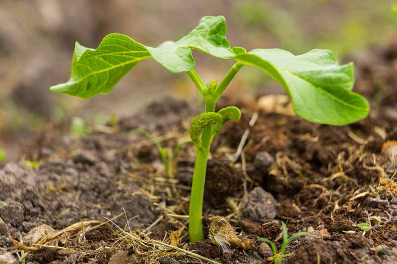A close up horizontal image of a bean seedling growing in the garden.