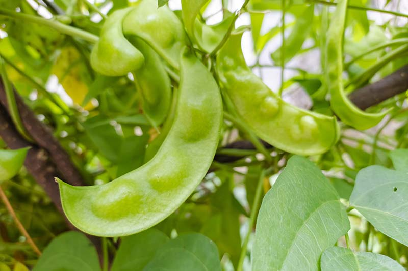 A close up horizontal image of lima beans growing in the garden on the bush, pictured on a soft focus background.