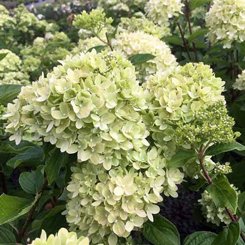 A close up square image of 'Little Lime' hydrangea growing in the garden.