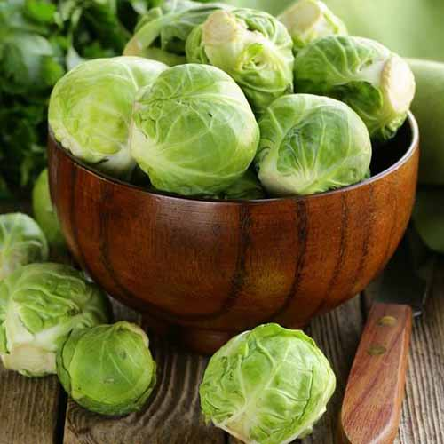 A close up square image of a wooden bowl filled with 'Long Island' sprouts set on a wooden table with a knife.