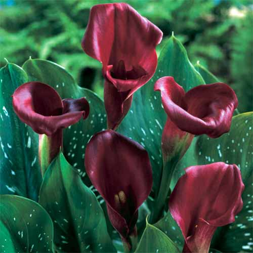 A close up square image of 'Majestic Red' calla lilies growing in the garden with variegated foliage pictured on a soft focus background.