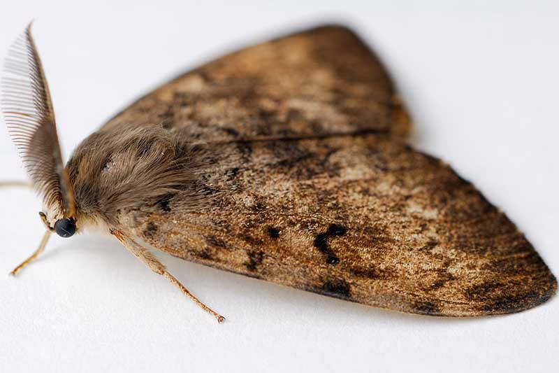 A close up horizontal image of a male adult gypsy moth on a white surface.