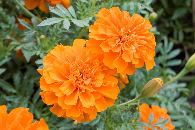 A close up horizontal image of orange marigolds growing in the garden pictured on a soft focus background.
