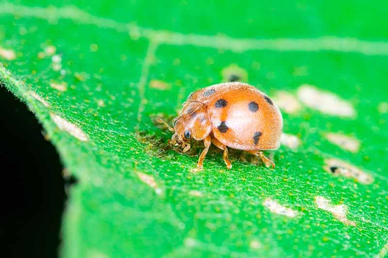 A close up horizontal image of a lady beetle on a green leaf.