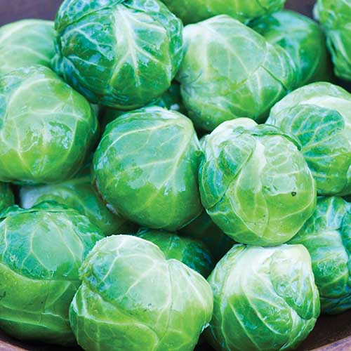 A close up square image of a pile of freshly harvested 'Mighty' brussels sprouts.