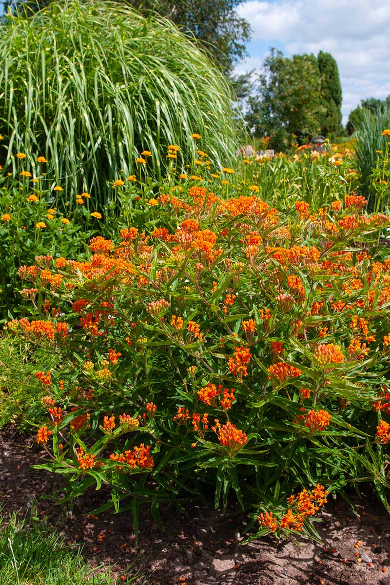 A close up vertical image of bright orange milkweed growing in a perennial border pictured in bright sunshine.