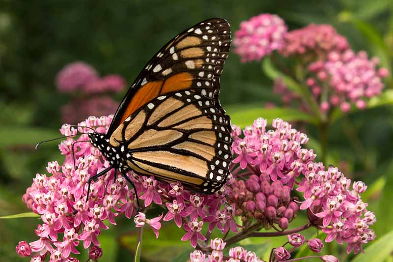 A close up horizontal image of a monarch butterfly feeding on a pink milkweed flower pictured on a soft focus background.
