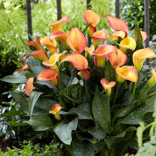 A close up square image of Zantedeschia 'Morning Sun' growing in a shaded spot in the garden.