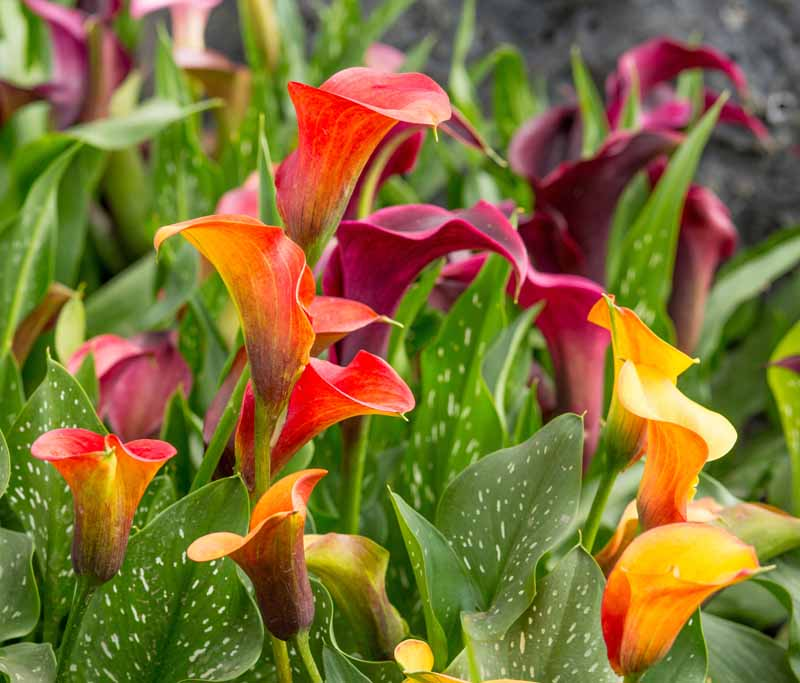 A close up horizontal image of multicolored calla lilies growing in a garden border.