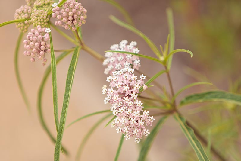 A close up horizontal image of pink and white Asclepias fascicularis flowers pictured on a soft focus background.