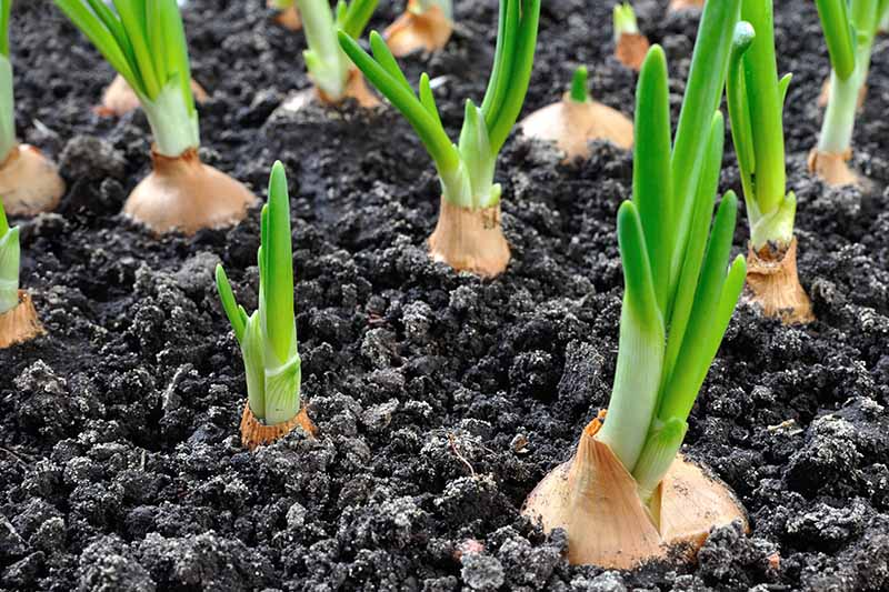 A close up horizontal image of onions growing in the vegetable garden.