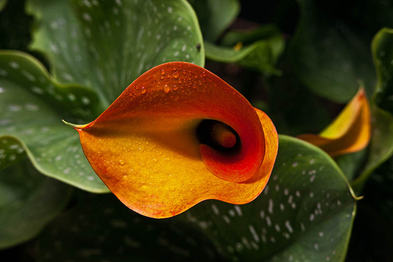 A close up horizontal image of a bright orange Zantedeschia pentlandii flower with foliage in soft focus in the background.