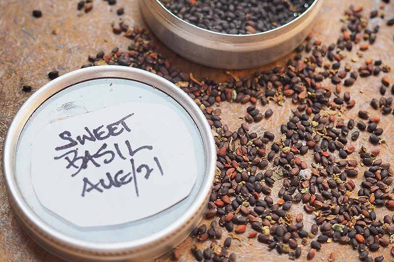 A close up horizontal image of a small labelled pot of saved basil seeds, with some scattered all around.