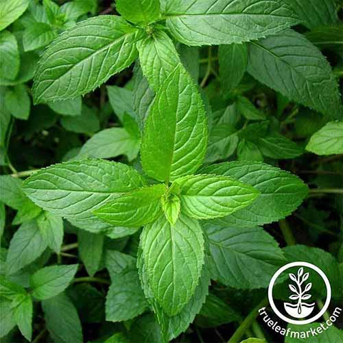 A close up square image of peppermint growing in the garden. To the bottom right of the frame is a white circular logo with text.