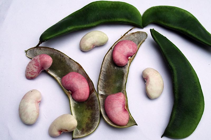 A close up horizontal image of closed and opened pods of pink lima beans on a white surface.