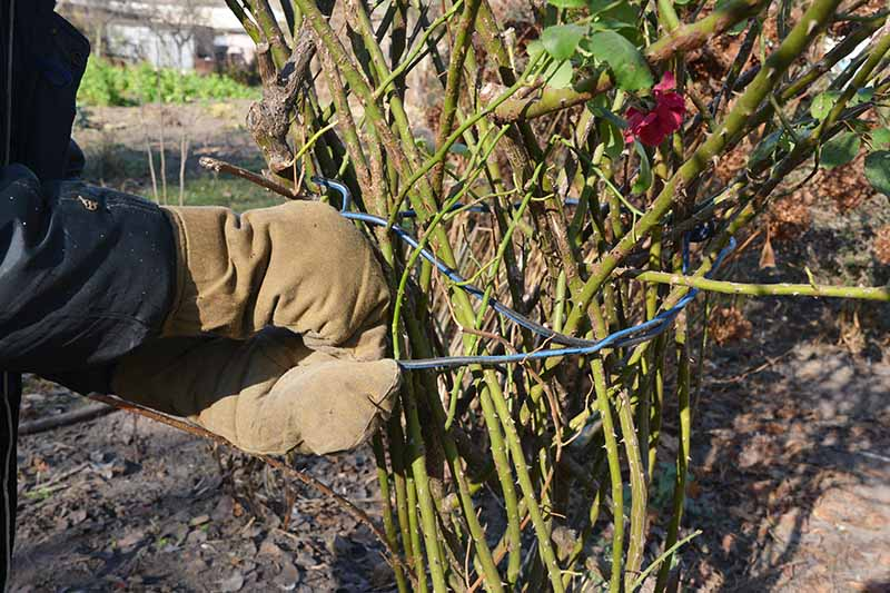 A close up horizontal image of a gardener tying up a rose shrub with wire to prepare the plant for winter.