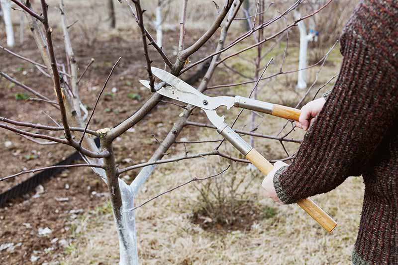 A close up horizontal image of a gardener pruning a fruit tree during dormancy.