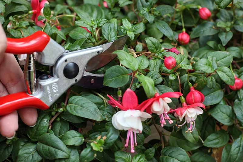 A close up horizontal image of a hand to the left of the frame holding a pair of secateurs and pruning the flowers off a hardy fuchsia plant prior to transplant.