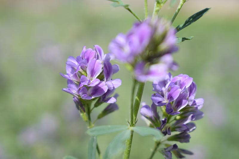 A close up horizontal image of the light purple flowers of Medicago sativa, aka alfalfa or lucerne, picutred on a soft focus background.
