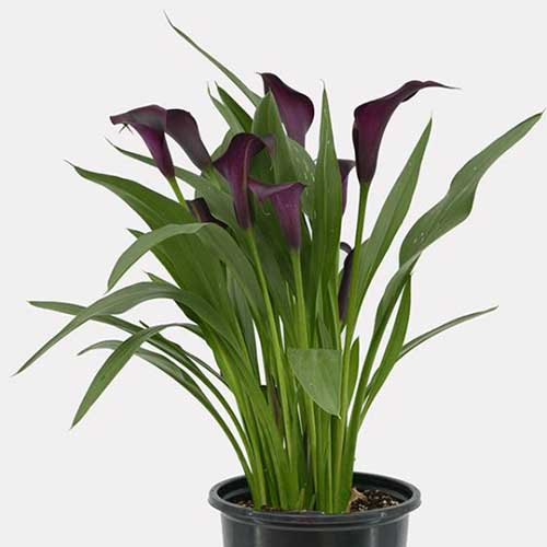 A close up square image of a purple calla lily growing in a pot isolated on a white background.