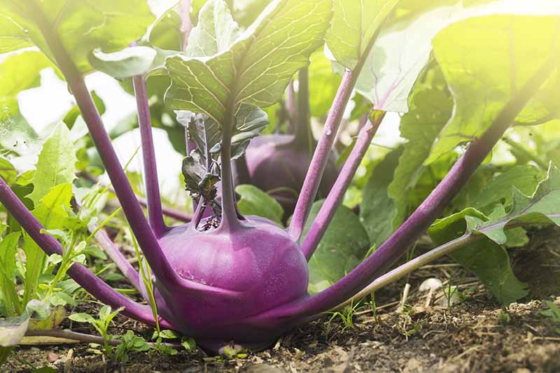 A close up horizontal image of a purple kohlrabi plant growing in the garden pictured in light filtered sunshine.