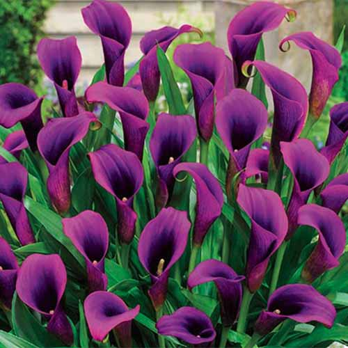 A close up square image of 'Purple Sensation' calla lilies growing in the garden.
